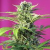 Chem Beyond Diesel CBD Feminized Seeds (Sweet Seeds)