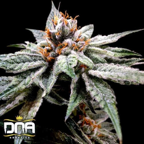 DJs Gold FEMINIZED Seeds (DNA Genetics)