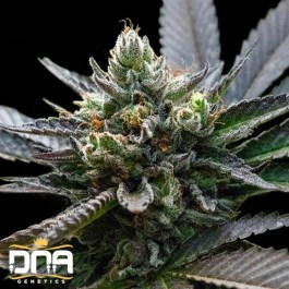 L.A Sorbet FEMINIZED Seeds (DNA Genetics - Sorbet Collection)