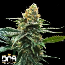 Sour Sorbet FEMINIZED Seeds (DNA Genetics – Sorbet Collection)