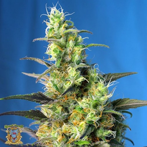 Ice Cool CBD Feminized Seeds (Sweet Seeds)