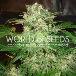 Mazar Kush Feminized Seeds (World of Seeds)