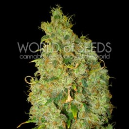 Northern Lights x Skunk Feminized Seeds (World of Seeds)