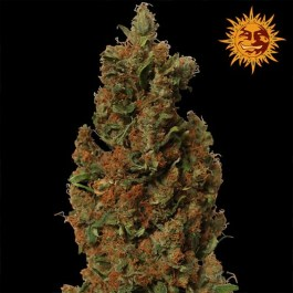 Red Diesel Feminized Seeds (Barney's Farm)