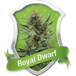 Royal Dwarf Automatic Feminized Seeds (Royal Queen Seeds)