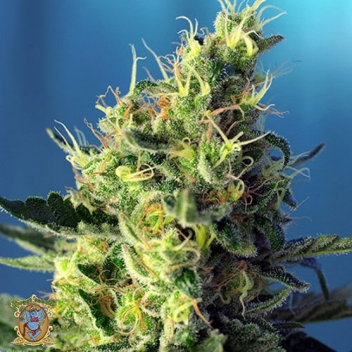 Sweet Pure CBD Feminized Seeds (Sweet Seeds)