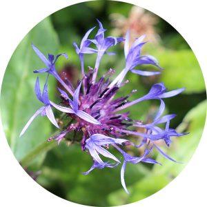 seedball flowers 0000s 0028 Great Knapweed