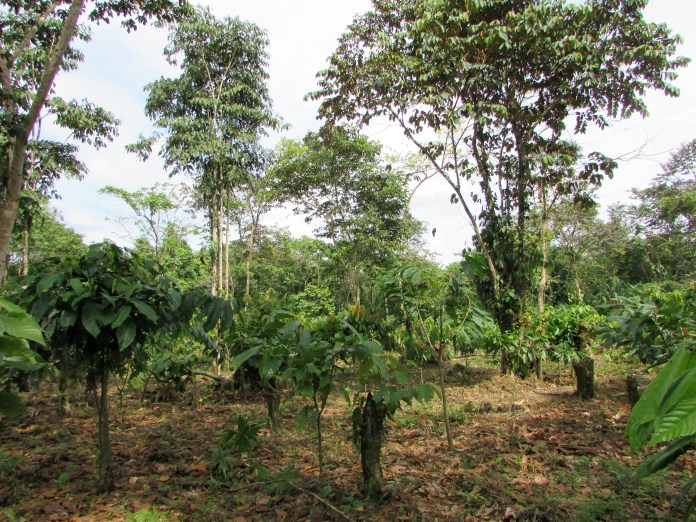 Simon's cacao farm. Trees between two and three years old are now starting to produce.)