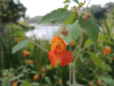 Got a bite or a sting? Jewelweed will help you out!