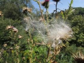 Wind-blown seeds