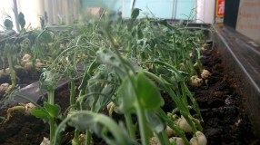 After two weeks: pea shoots
