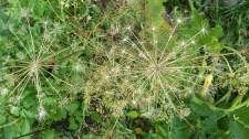 Dill seeds look like fireworks!