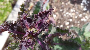 Some of last year's rainbow dinosaur kale is staring to bloom (and hopefully go to seed).