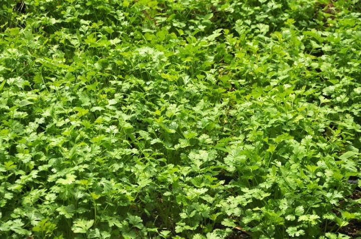 Coriander Microgreens Seeds - Wholesome Supplies