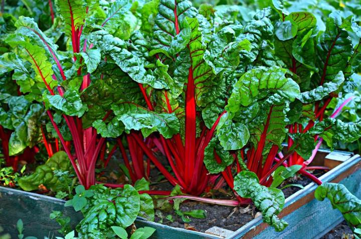 Silverbeet Ruby Red Chard Vegetable Seeds - Wholesome Supplies