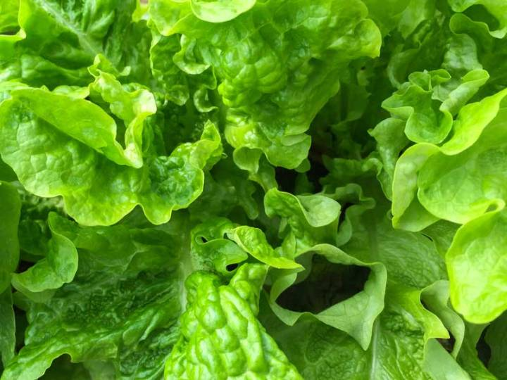 Lettuce Salad Bowl Green