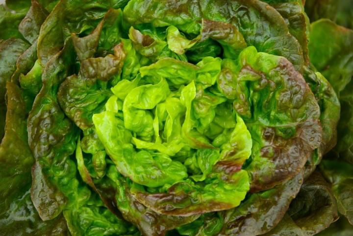 Lettuce Mignonette Bronze