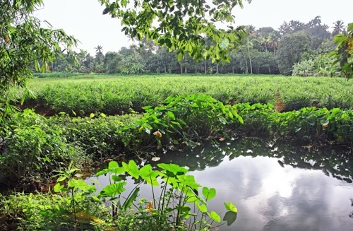 View of a ginger plantation in India