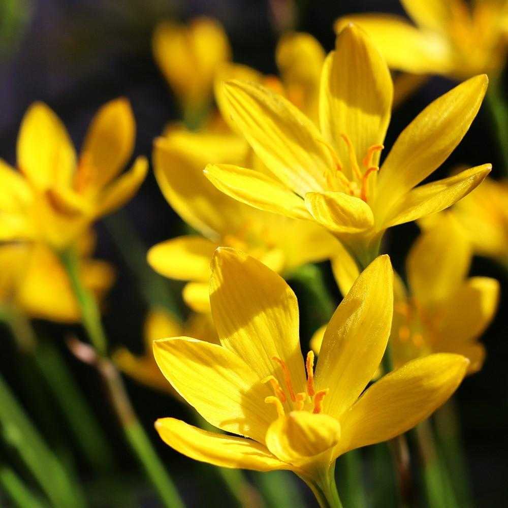 Buy Rain Lily Bulbs Online India Delivery To Door Step Fast Shipping