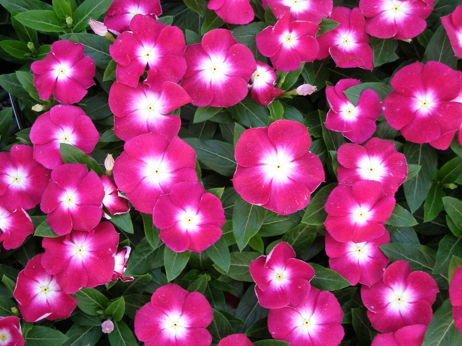 Vinca Pink Rosea Hybrid Seeds Buy At Seedsnpots