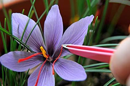 Saffron Bulbs Kesar buy online at reasonable price at ...