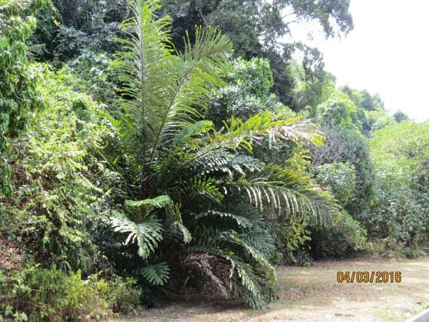 Arenga palm KK IMG_1734.JPG