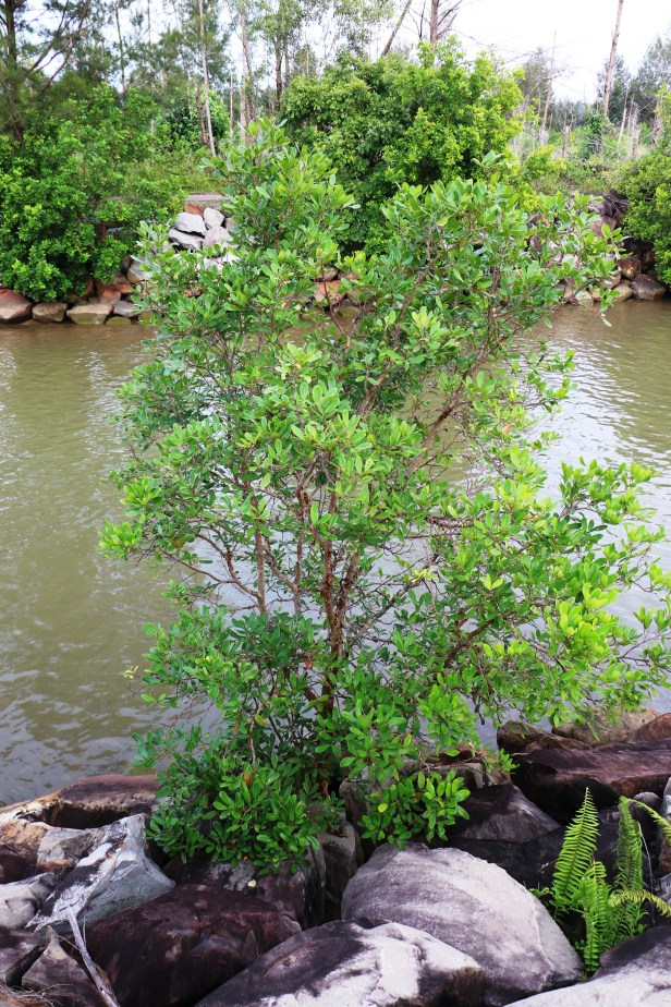 Xylocarpus granatum IMG_1186.JPG