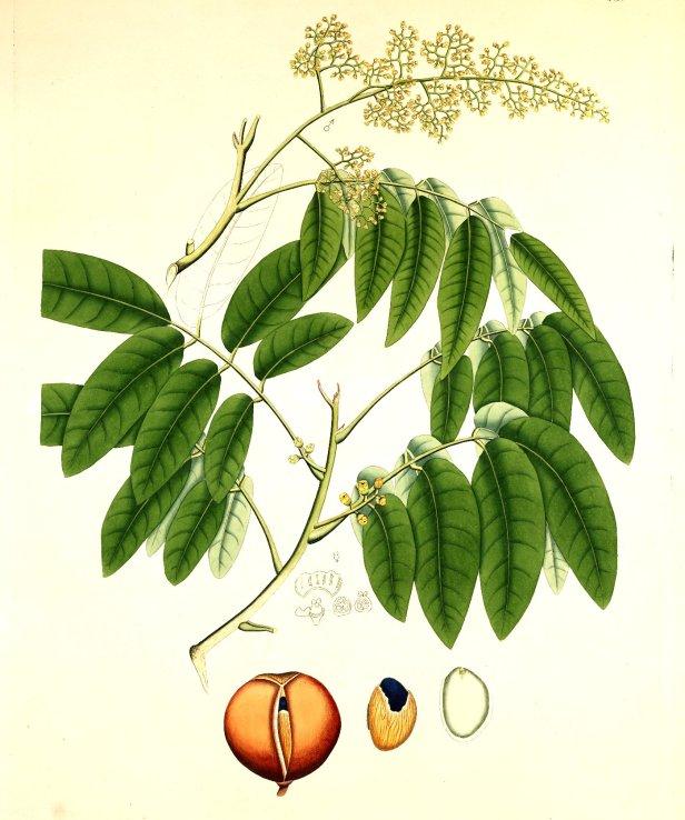 Aglaia cuculata Roxburgh (1819)  .jpg