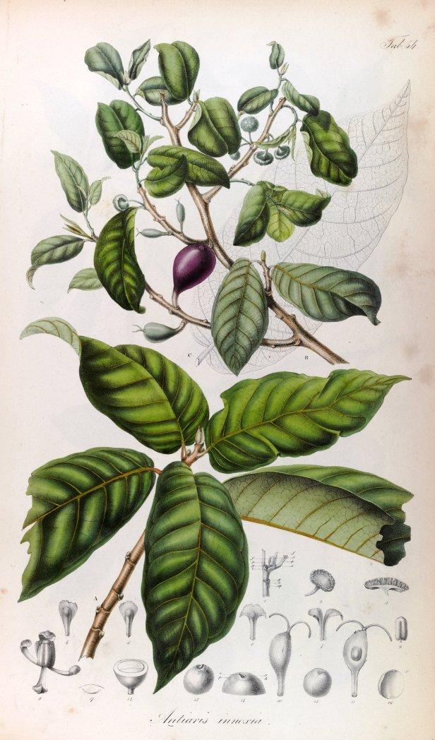 Antiaris toxicaria Blume Rumphia (1835) 160903.jpg