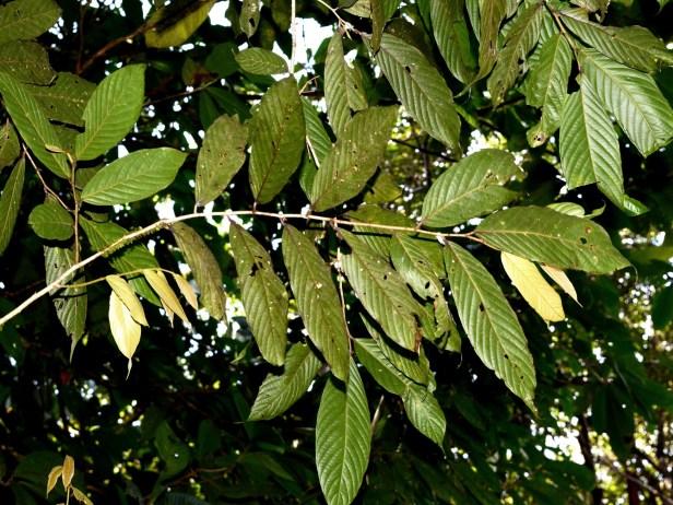 Antidesma Borneo  Mafe Indeterminada_sp.19_DSC_3454.JPG