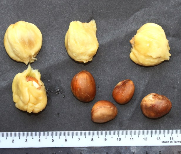 Artocarpus integer Borneo IMG_3239.JPG