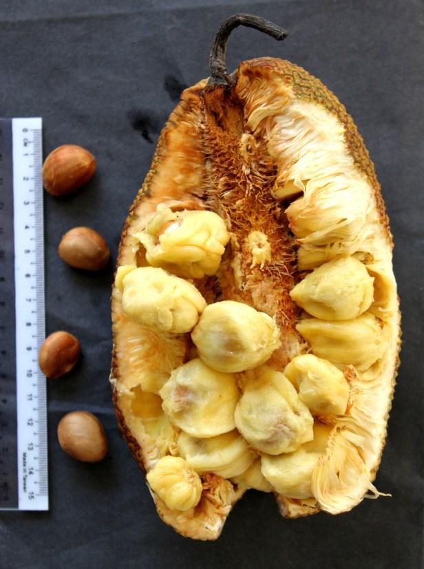 Artocarpus integer Borneo IMG_3243.JPG