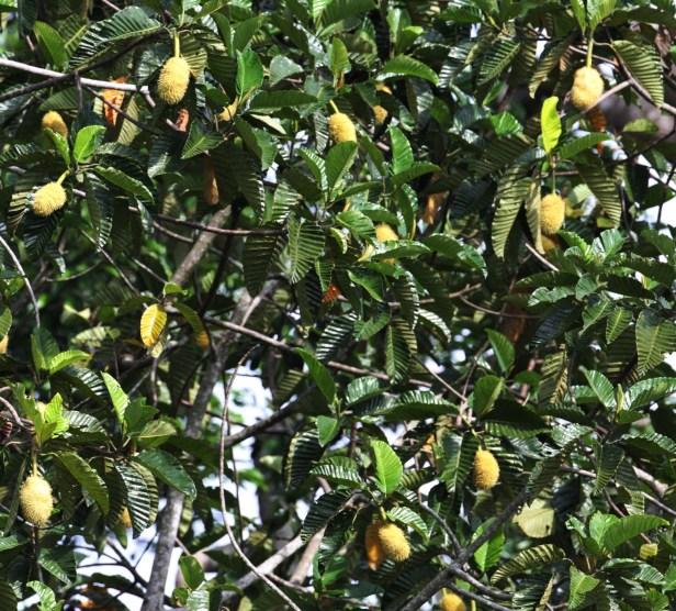 Artocarpus tamaran Borneo IMG_1101.JPG
