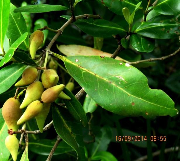 Avicennia alba Borneo IMG_0172.JPG