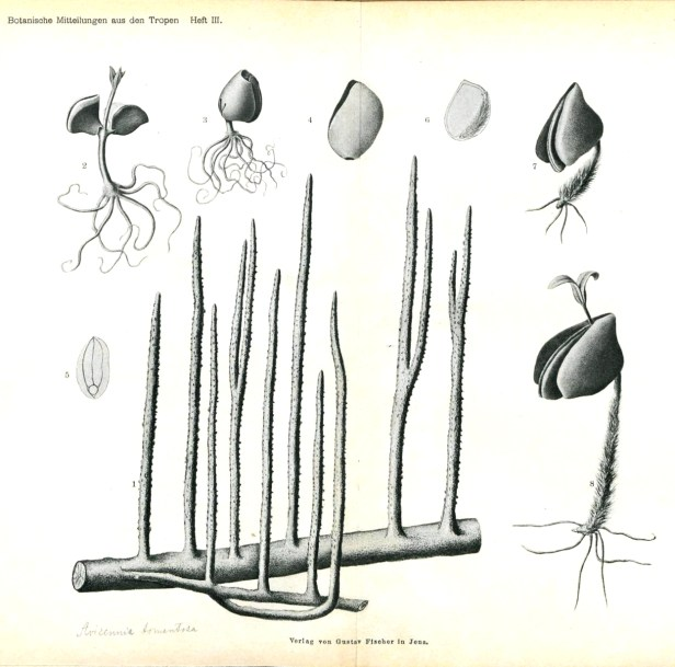 Avicennia roots and propagules 140104 - Copy.jpg