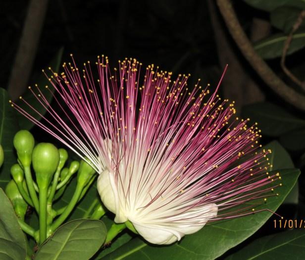 Barringtonia asiatica IMG_9183.JPG