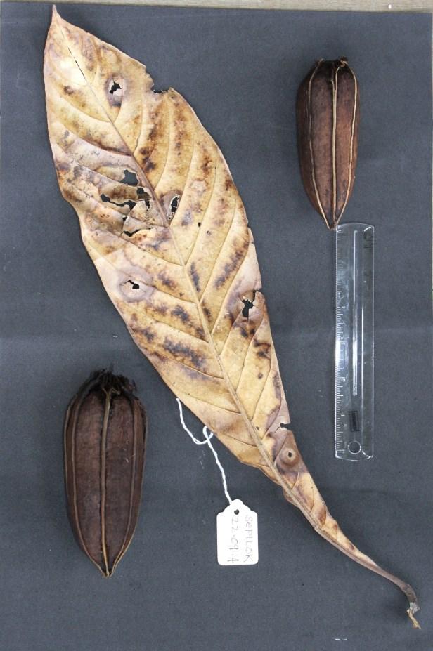 Barringtonia macrostachys IMG_0965.JPG