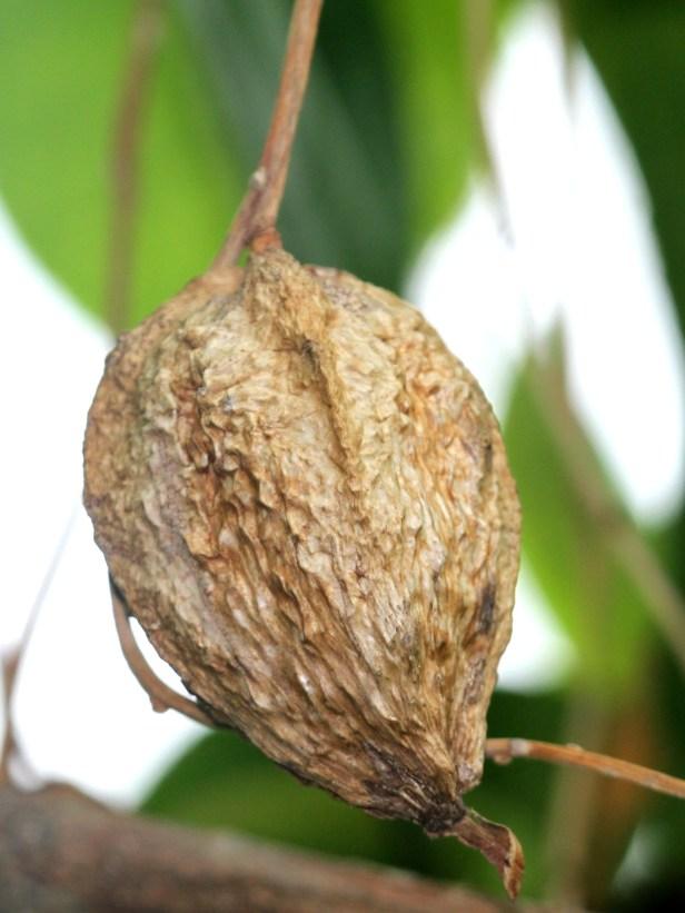 Barringtonia racemosa IMGL0007.JPG