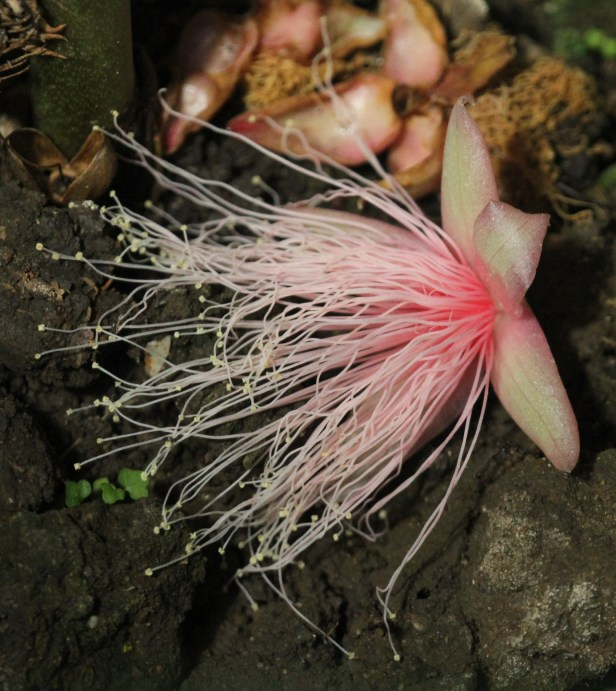 Barringtonia racemosa IMGL0037.JPG