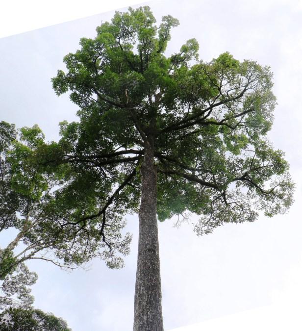 Bunut Callophyllum macrocarpum 03 IMG_2515.JPG