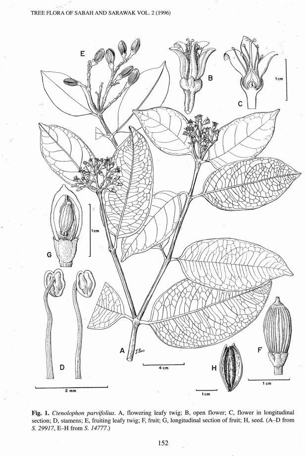 Ctenolophon parvifolius  TFSS Vol. 2 .jpg