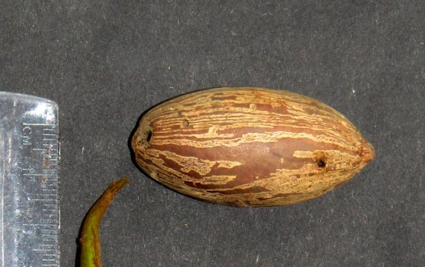 Endocomia virella Nutmeg  IMG_5403.JPG