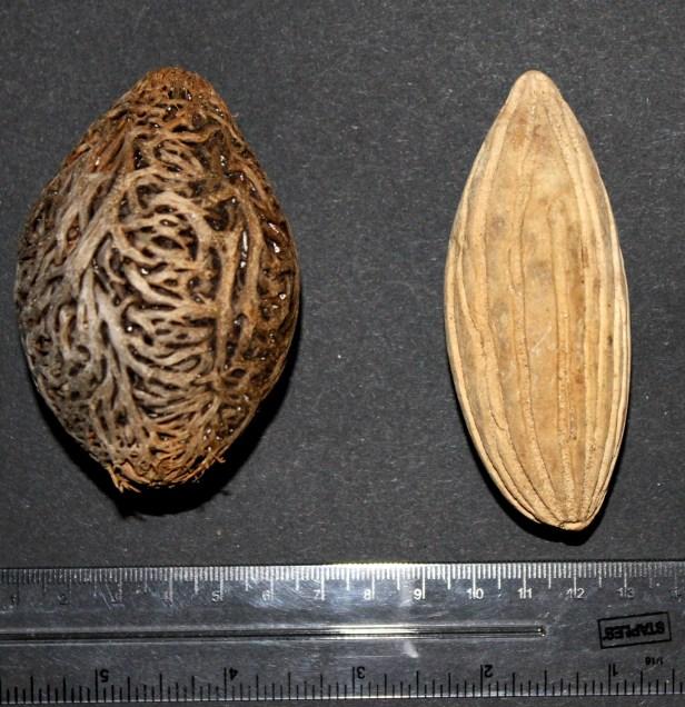 Eusideroylon zwageri compared with Barringtonia lanceolata.JPG