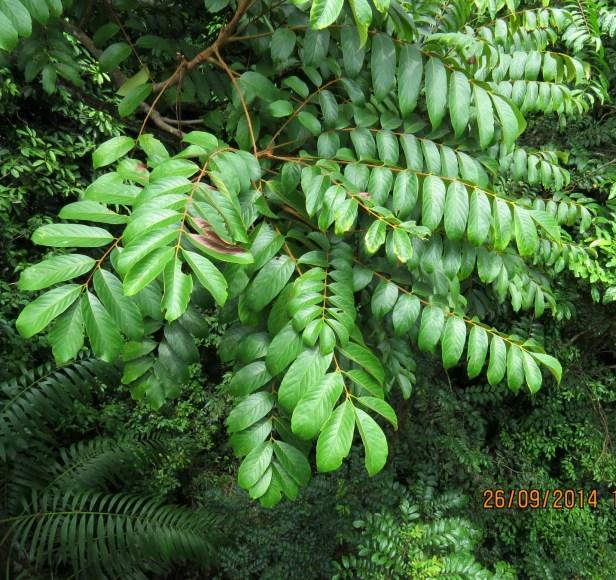Meliosma sumatrana Borneo IMG_0189