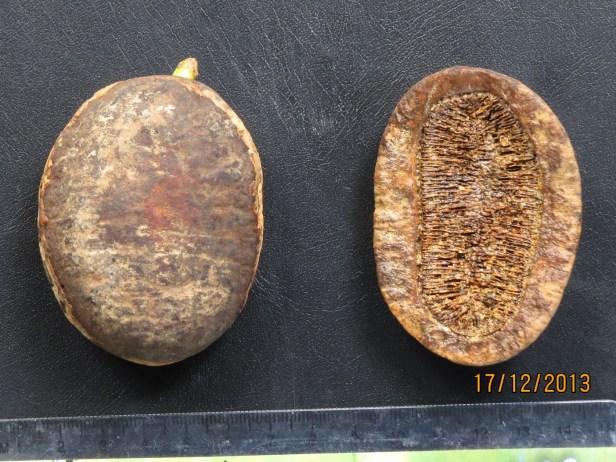 Mezzetia macrocarpa . macrocarpa 5.5 x 7 IMG_4220