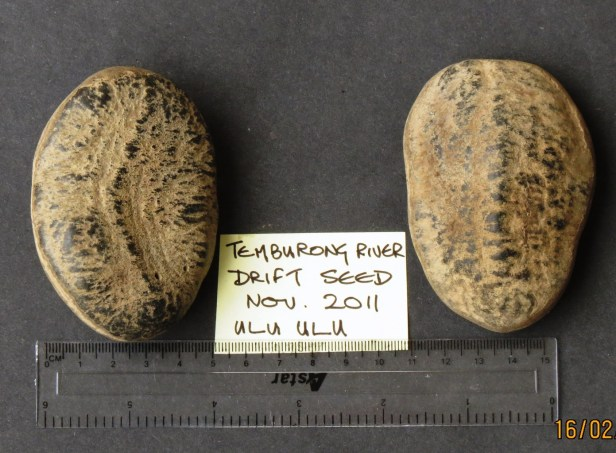Mezzetia macrocarpa  Temburong IMG_3084.JPG