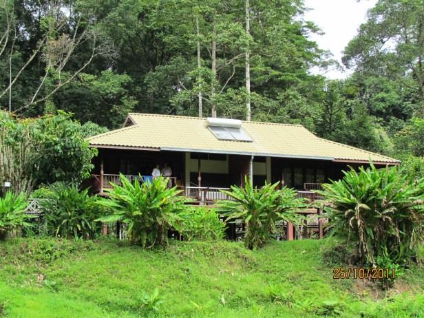 Musa beccarii Borneo IMG_6080.JPG