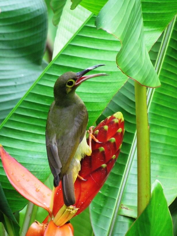 Musa beccarii Borneo iIMG_6143.JPG