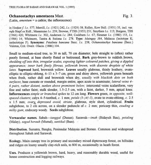 Ochanostachys amentaceae  TFSS 02  .jpg