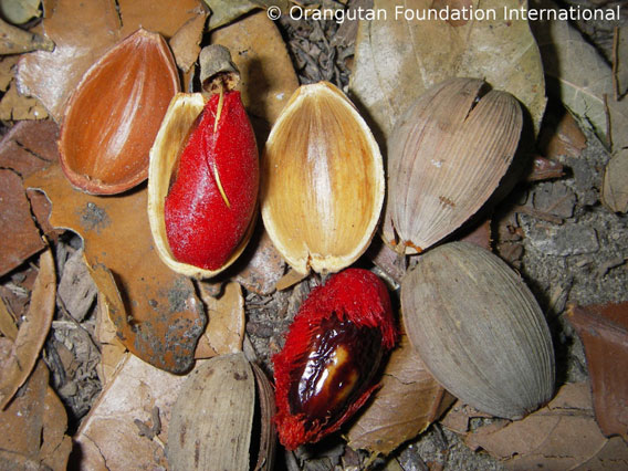 Penempalaan-orangutan fruit. Orangutan Foundation International. 568.jpg